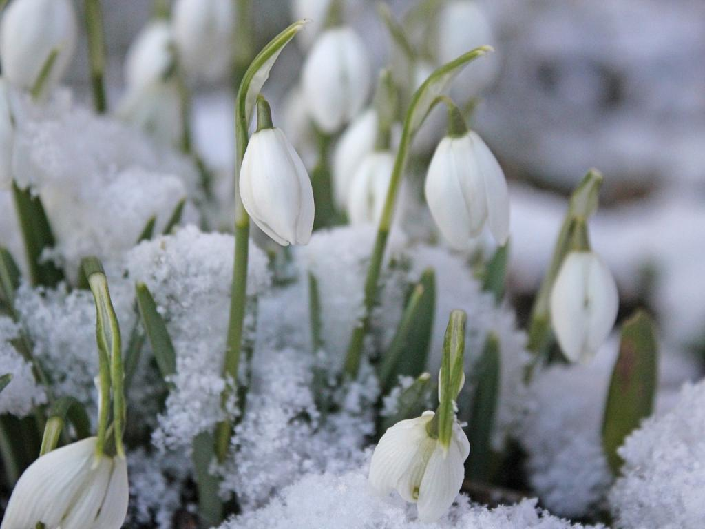 snowdrops in snow first flower persephone's thought about returning to world pagan