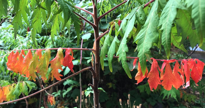 """The upper leaves on our staghorn sumac still think it's Summer, but the lower ones are all, """"Here we go...!"""""""