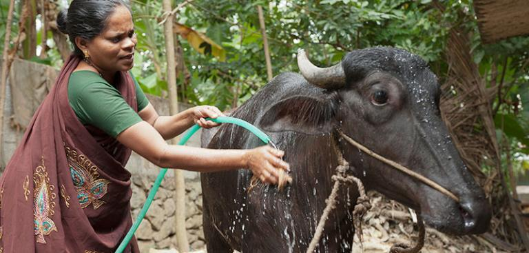 A microfinance loan enabled this woman to buy a water buffalo and keep her family out of the cycle of poverty - KP Yohannan - Gospel for Asia