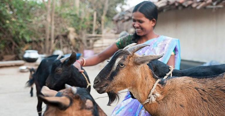 Income producing gifts, like these goats, help lift impoverished families in Asia out of the trap of poverty.