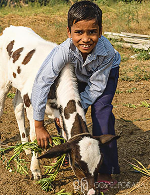 Gospel for Asia (GFA World) founded by Dr. K.P. Yohannan: A gift of cows brings blessing.