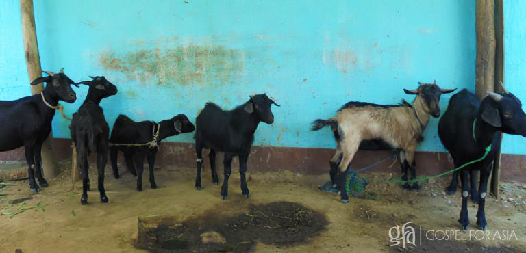 Gospel for Asia founded by Dr. K.P. Yohannan: God is using these goats to bring Kripal and Bani out of poverty and remind them of His continual presence.