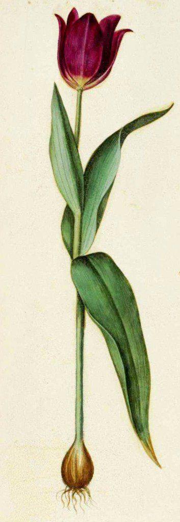 Botanical-Flower-Tulip-Italian-2