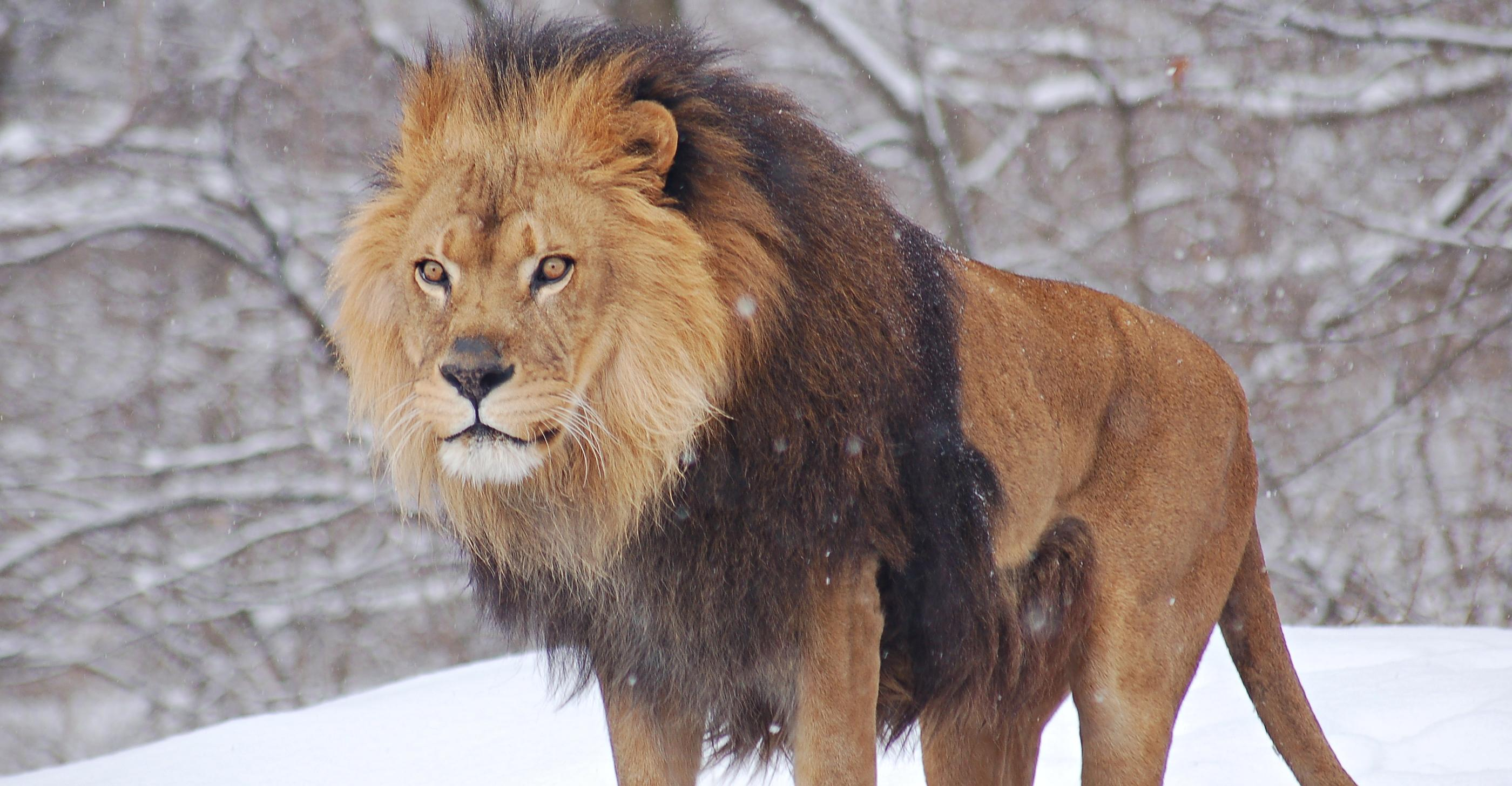 African_Lion_Panthera_leo_Male_Pittsburgh_2800px