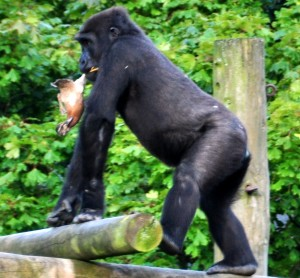 Young gorilla with a very unfortunate duck at Bristol Zoo