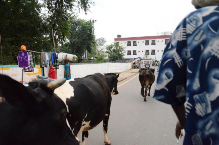 Bodhgaya cows