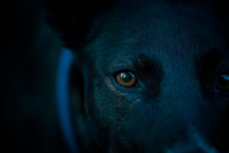 a close-up of a black dog's face, one brown eye staring directly at the camera