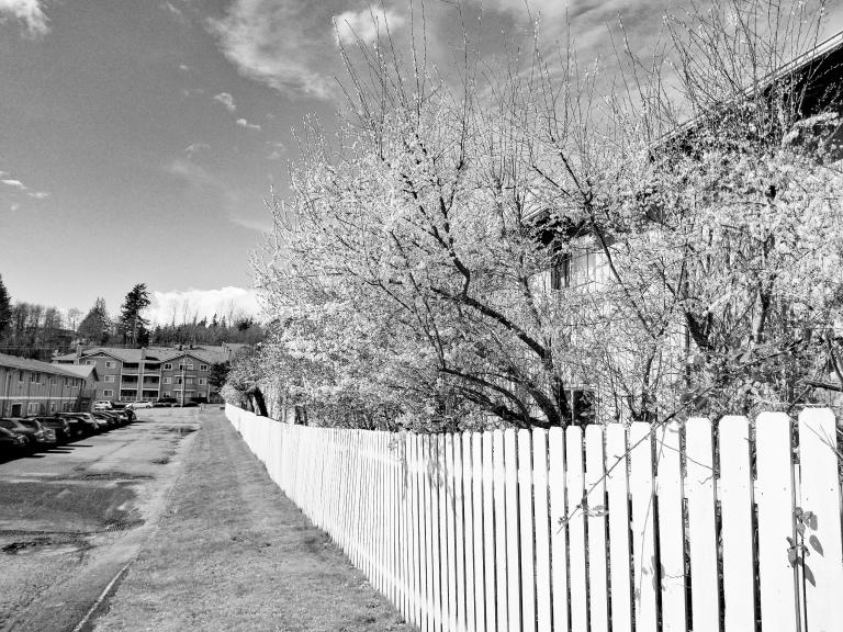 a black and white photo of white flowers blooming on trees lining a white fence