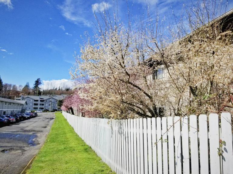 white and pink flowering trees lining a white picket fence