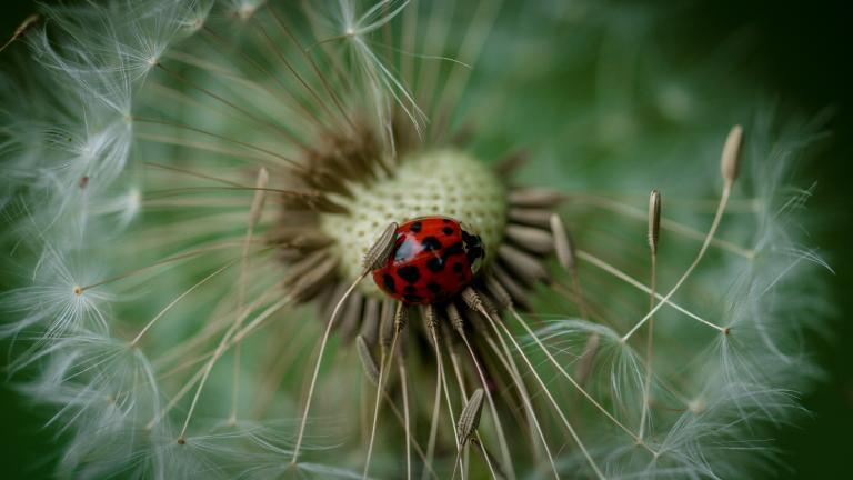 a ladybug nestled inside a dandelion