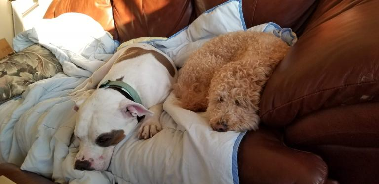 a white and brown pitbull and a smaller tan labradoodle cozy on the couch
