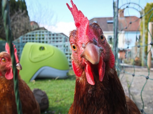 """Curious Chicken"" Ian Southwell (cc) 2012"