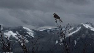 """Gray Jay Overlooking the Cascades,"" © Alison Leigh Lilly"