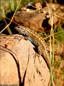 """""""Lizard in Zion,"""" © Alison Leigh Lilly"""