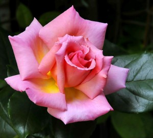 pink rose just now turning at the edge of its petals