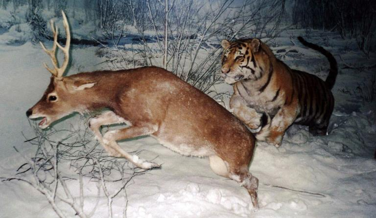 Tiger chasing a deer, via Wikimedia Commons