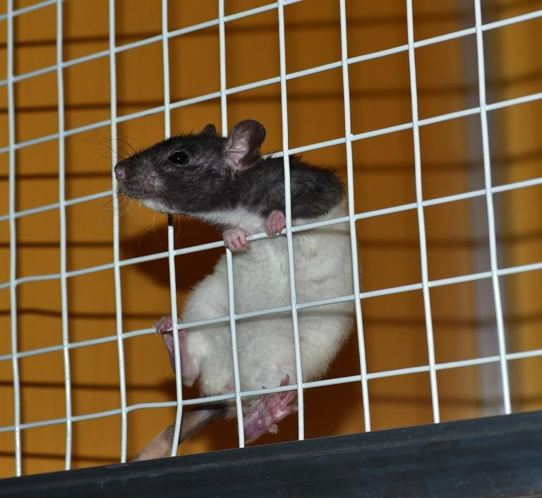"""A rat in a cage"" by sipa. CC0 License."