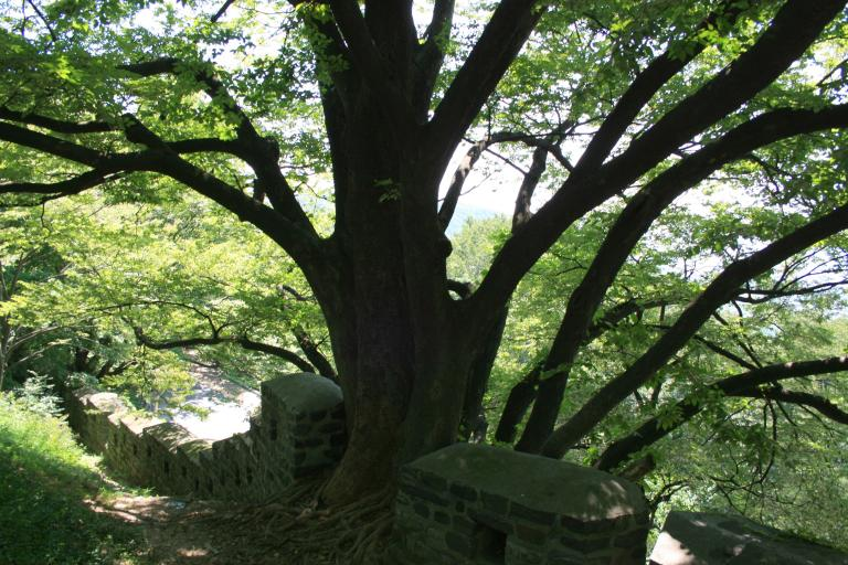 Ancient Tree in a Fortress Wall