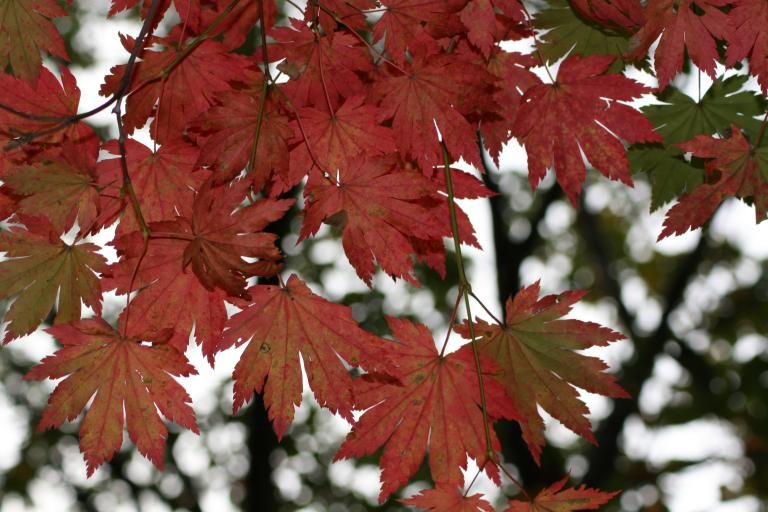 Leaves of a Japanese Maple in Fall