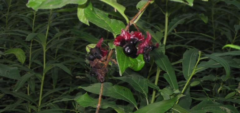 blackfruit