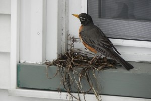 When I left the house at noon, Mrs. Robin had made great progress on the nest.
