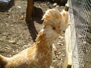 Lucy, one of the hens in my flock.