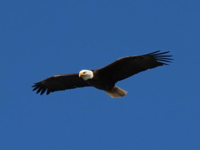 Bald-Eagle-9114-cropped